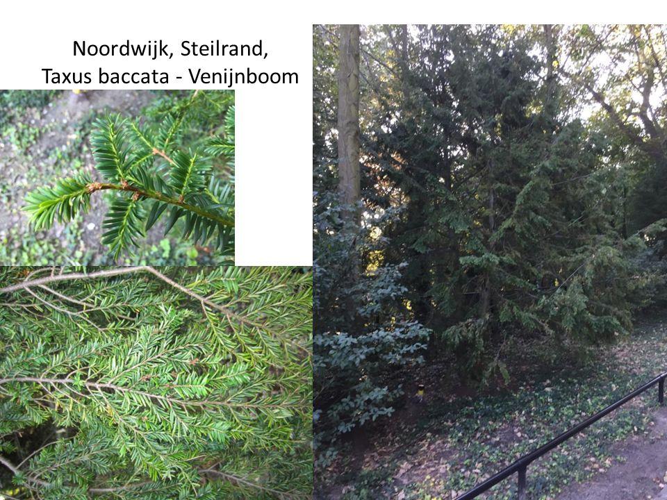 Noordwijk, Steilrand, Taxus baccata - Venijnboom