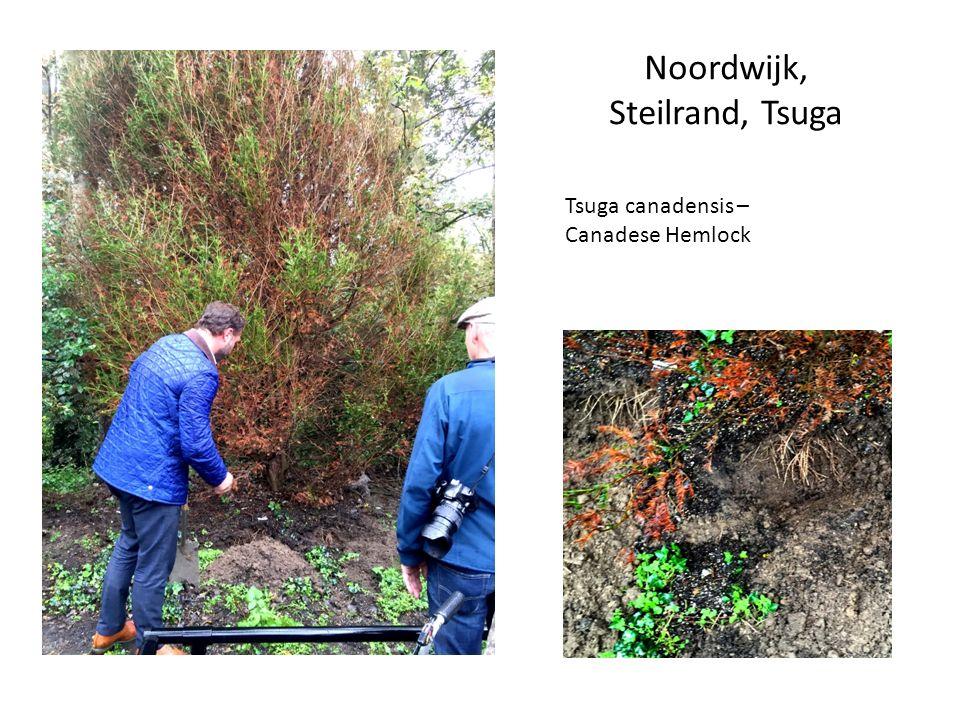 Noordwijk, Steilrand, Tsuga Tsuga canadensis – Canadese Hemlock