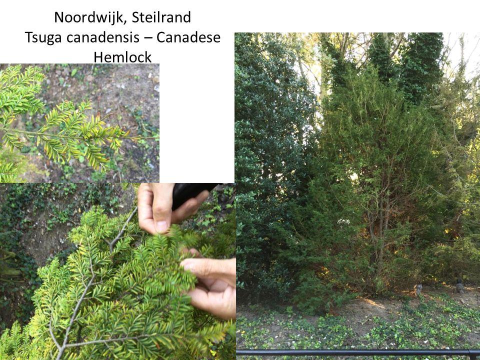 Noordwijk, Steilrand Tsuga canadensis – Canadese Hemlock