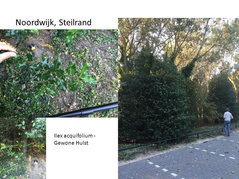 Noordwijk, Steilrand Ilex acquifolium - Gewone Hulst