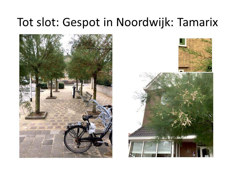 Tot slot: Gespot in Noordwijk: Tamarix
