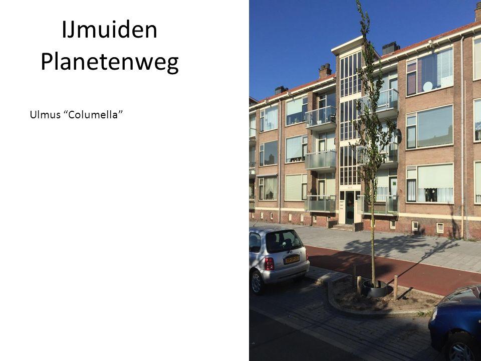 Ulmus Columella
