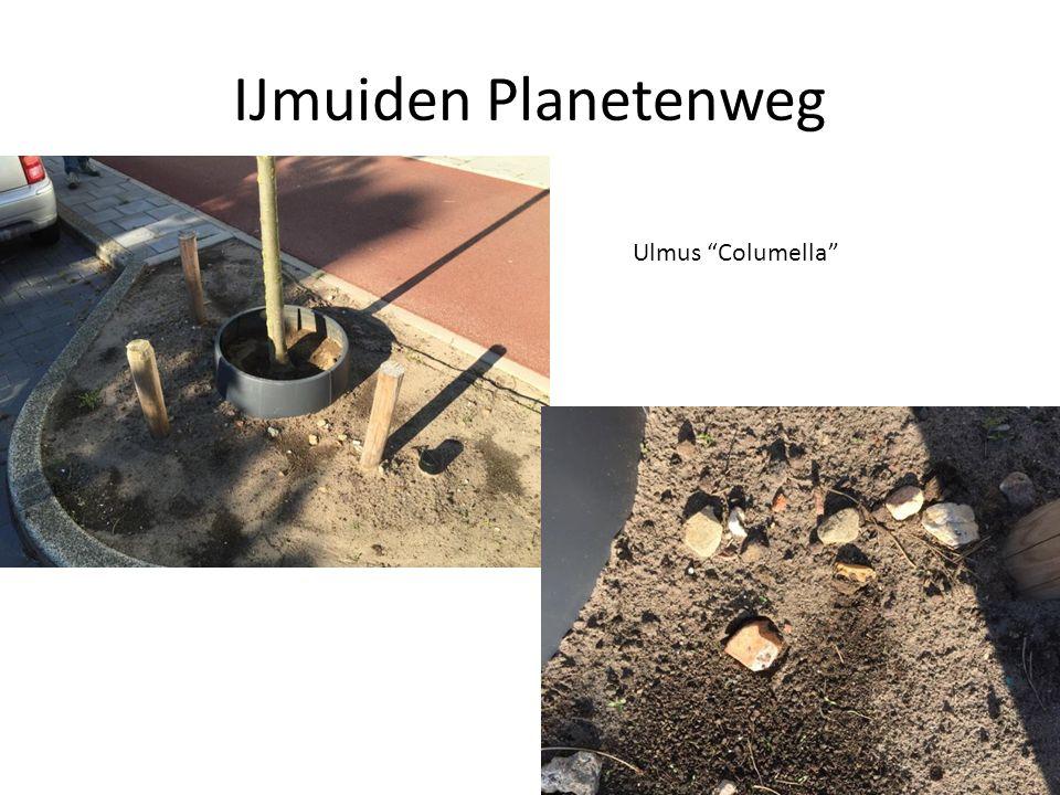 IJmuiden Planetenweg Ulmus Columella