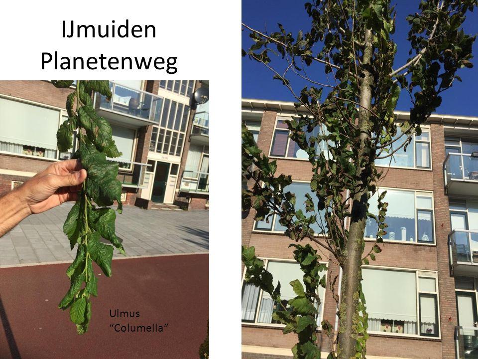 "IJmuiden Planetenweg Ulmus ""Columella"""
