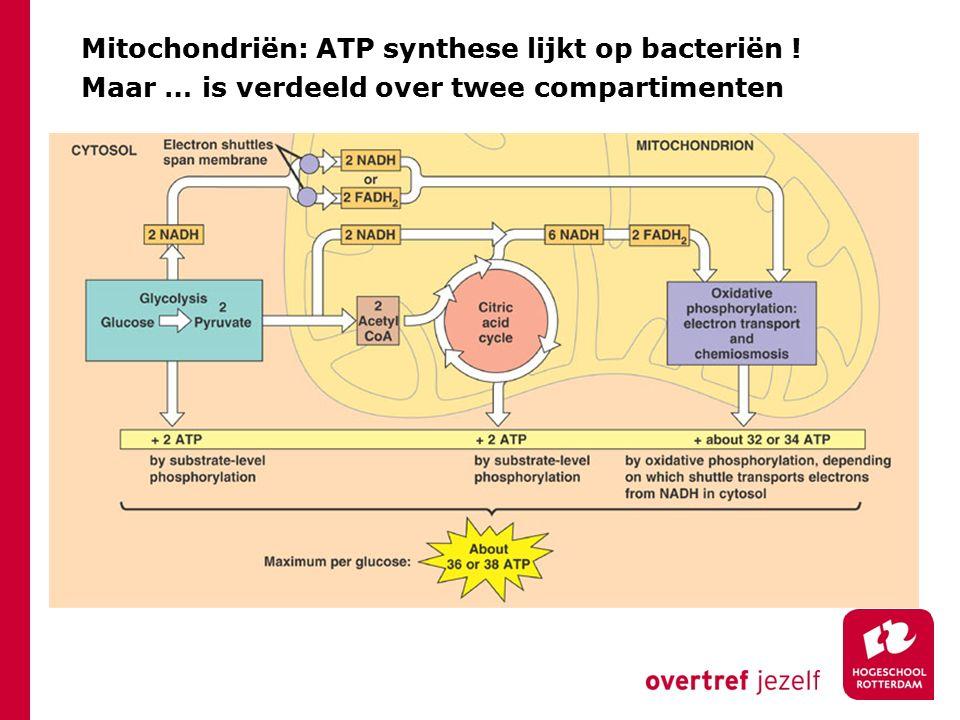 Mitochondriën: ATP synthese lijkt op bacteriën ! Maar … is verdeeld over twee compartimenten