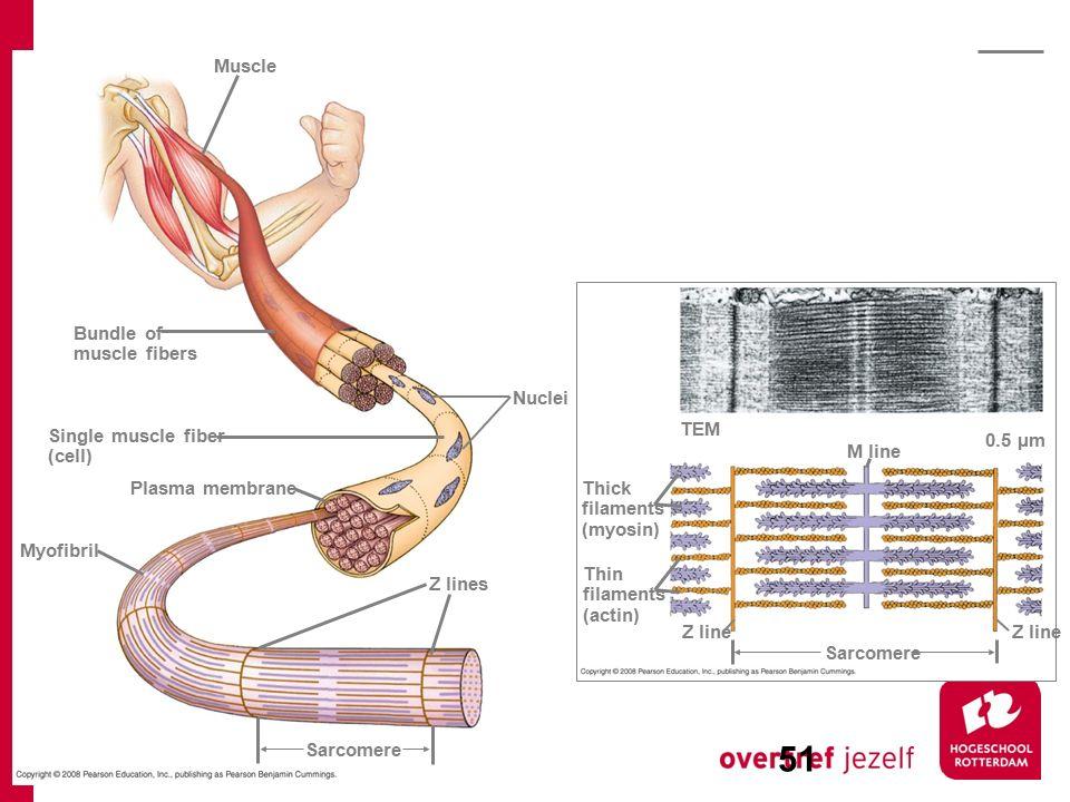 Bundle of muscle fibers Muscle Single muscle fiber (cell) Nuclei Z lines Plasma membrane Myofibril Sarcomere TEM Thick filaments (myosin) M line Z lin