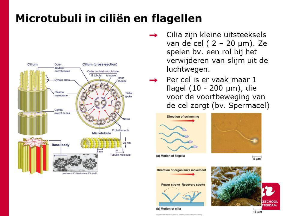Microtubuli in ciliën en flagellen Cilia zijn kleine uitsteeksels van de cel ( 2 – 20 μm). Ze spelen bv. een rol bij het verwijderen van slijm uit de