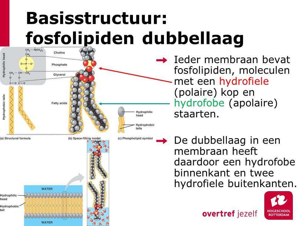 Basisstructuur: fosfolipiden dubbellaag Ieder membraan bevat fosfolipiden, moleculen met een hydrofiele (polaire) kop en hydrofobe (apolaire) staarten