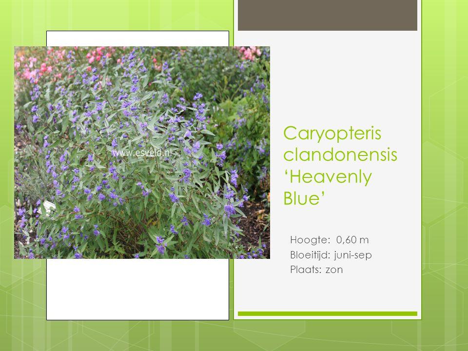 Caryopteris clandonensis 'Heavenly Blue' Hoogte: 0,60 m Bloeitijd: juni-sep Plaats: zon