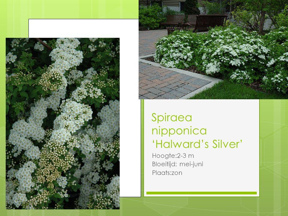 Spiraea nipponica 'Halward's Silver' Hoogte:2-3 m Bloeitijd: mei-juni Plaats:zon