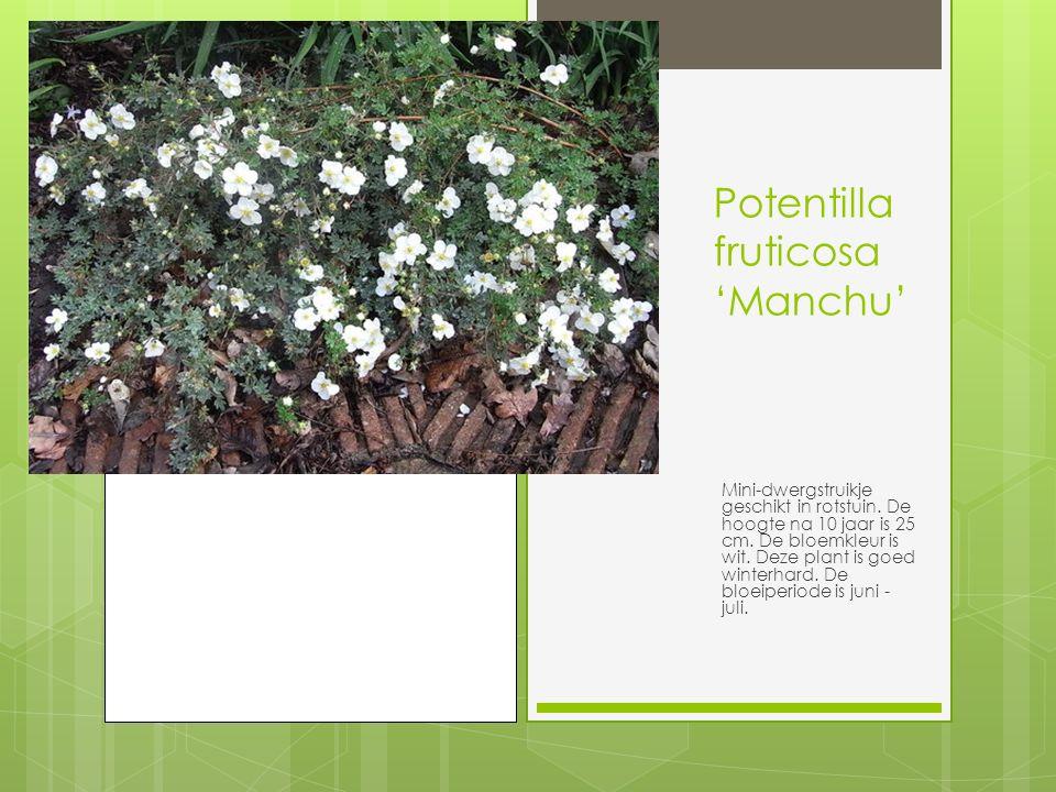 Potentilla fruticosa 'Manchu' Mini-dwergstruikje geschikt in rotstuin.