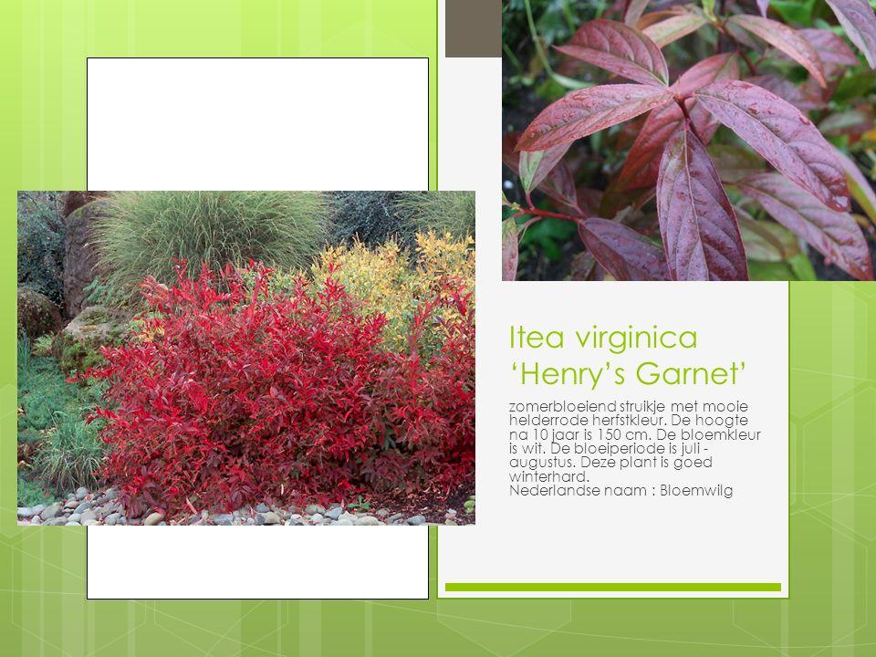 Itea virginica 'Henry's Garnet' zomerbloeiend struikje met mooie helderrode herfstkleur.