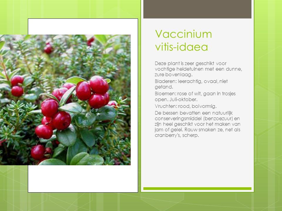 Vaccinium vitis-idaea Deze plant is zeer geschikt voor vochtige heidetuinen met een dunne, zure bovenlaag.