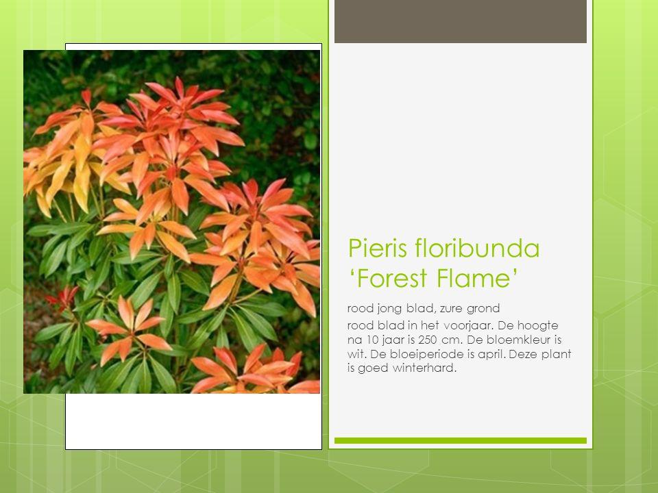 Pieris floribunda 'Forest Flame' rood jong blad, zure grond rood blad in het voorjaar.