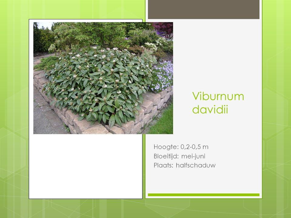Viburnum davidii Hoogte: 0,2-0,5 m Bloeitijd: mei-juni Plaats: halfschaduw