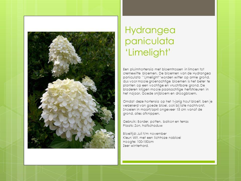 Hydrangea paniculata 'Limelight' Een pluimhortensia met bloemtrossen in limoen tot cremewitte bloemen.