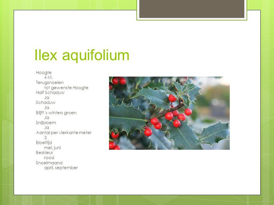 Ilex aquifolium Hoogte 4 M.
