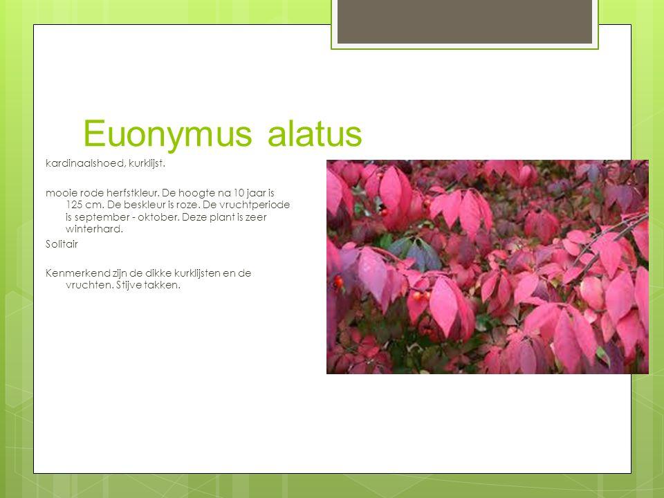 Euonymus alatus kardinaalshoed, kurklijst.mooie rode herfstkleur.