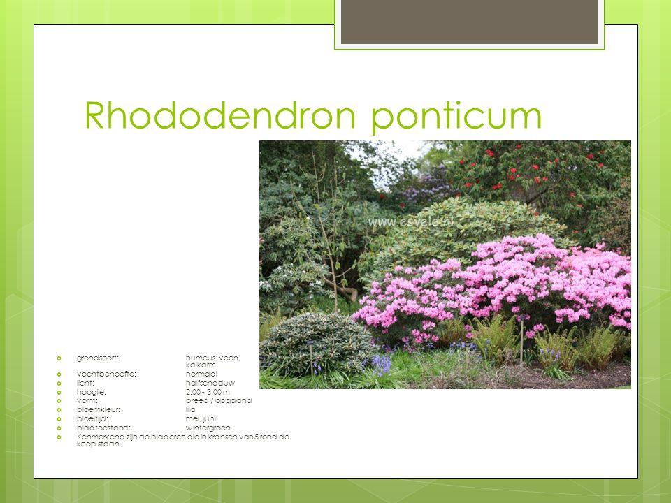 Rhododendron ponticum  grondsoort:humeus, veen, kalkarm  vochtbehoefte:normaal  licht:halfschaduw  hoogte:2.00 - 3.00 m  vorm:breed / opgaand  bloemkleur:lila  bloeitijd:mei, juni  bladtoestand:wintergroen  Kenmerkend zijn de bladeren die in kransen van 5 rond de knop staan.