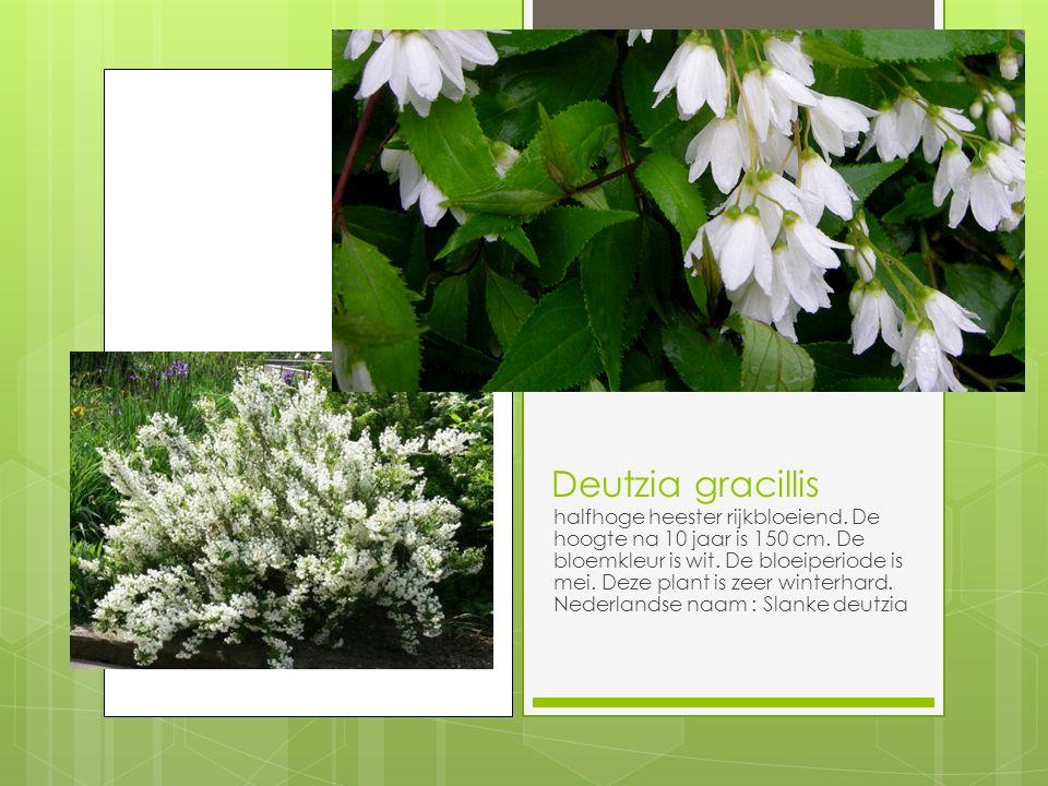 Deutzia gracillis halfhoge heester rijkbloeiend.De hoogte na 10 jaar is 150 cm.