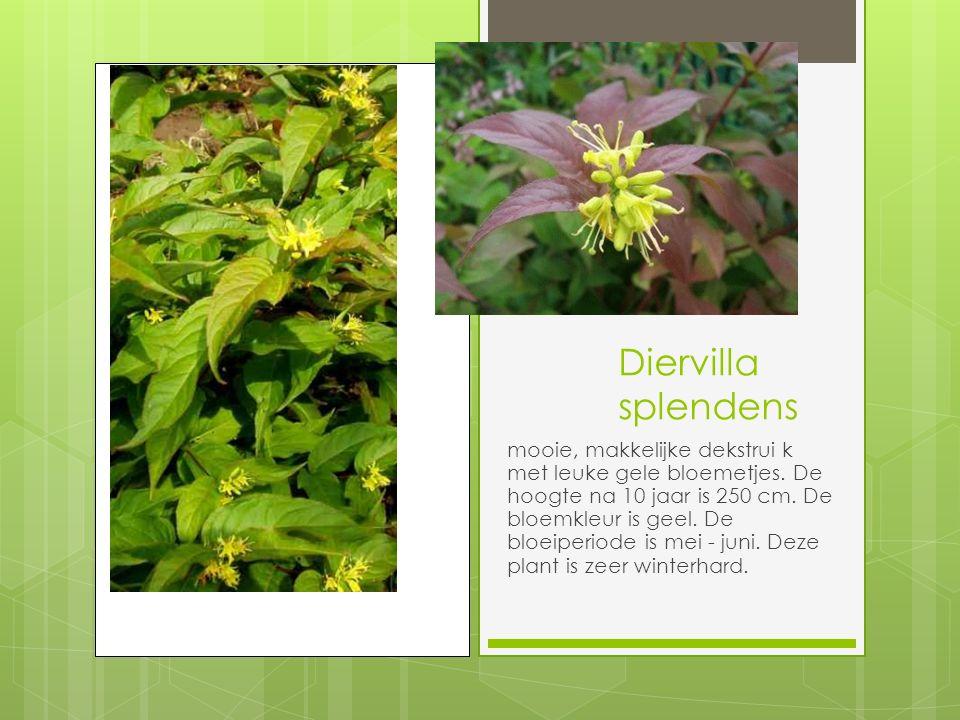 Diervilla splendens mooie, makkelijke dekstrui k met leuke gele bloemetjes.