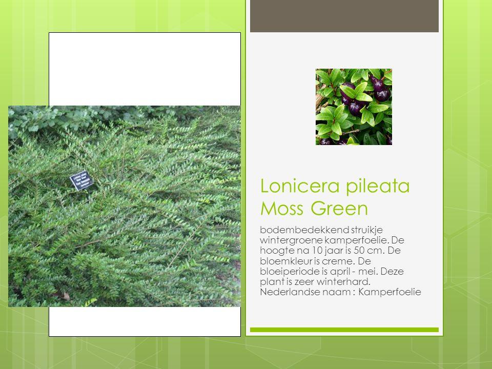Lonicera pileata Moss Green bodembedekkend struikje wintergroene kamperfoelie.