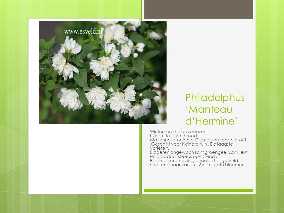 Philadelphus 'Manteau d'Hermine' Winterhard / bladverliezend.