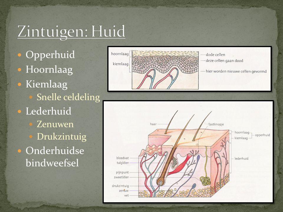 Opperhuid Hoornlaag Kiemlaag Snelle celdeling Lederhuid Zenuwen Drukzintuig Onderhuidse bindweefsel