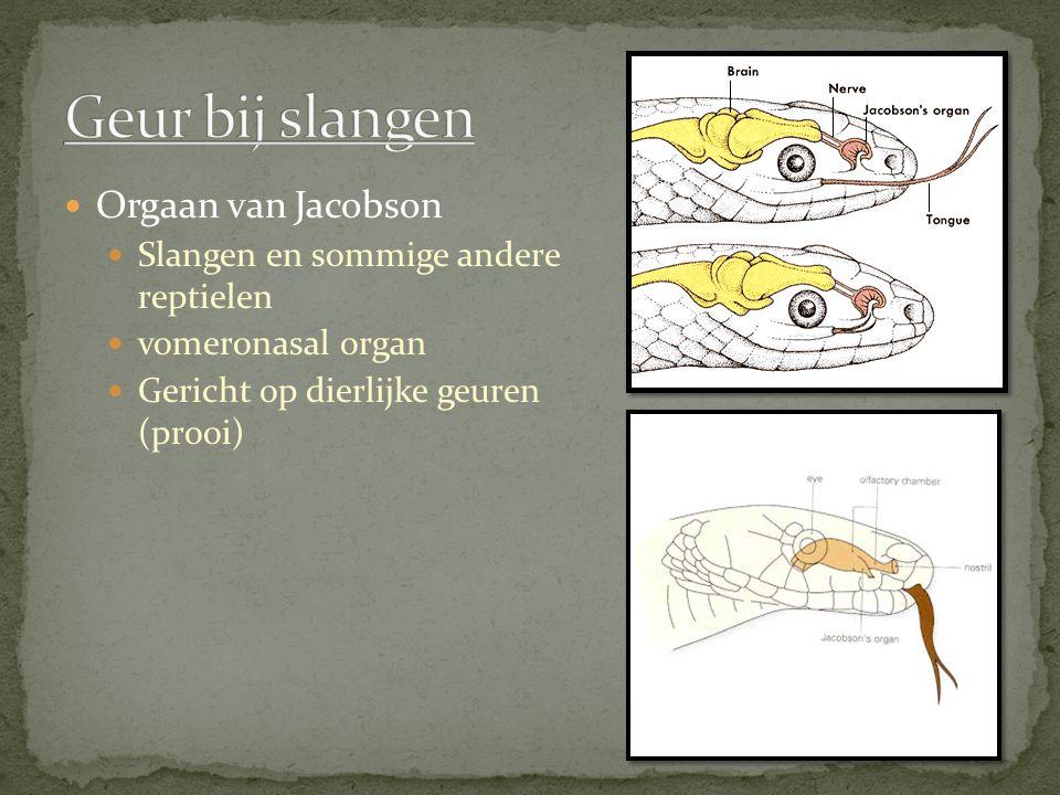 Orgaan van Jacobson Slangen en sommige andere reptielen vomeronasal organ Gericht op dierlijke geuren (prooi)