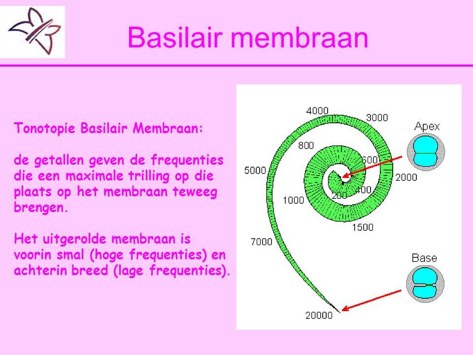Basilair membraan Tonotopie Basilair Membraan: de getallen geven de frequenties die een maximale trilling op die plaats op het membraan teweeg brengen