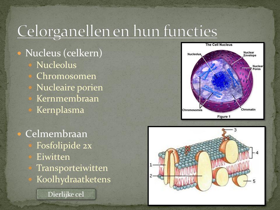 Nucleus (celkern) Nucleolus Chromosomen Nucleaire porien Kernmembraan Kernplasma Celmembraan Fosfolipide 2x Eiwitten Transporteiwitten Koolhydraatkete