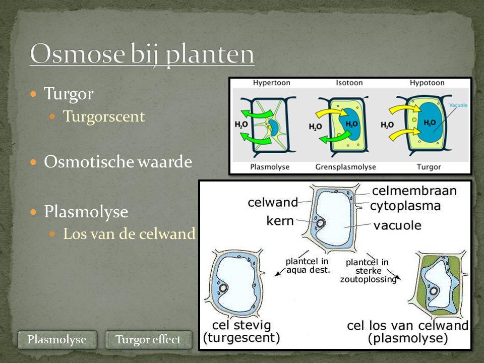 Turgor Turgorscent Osmotische waarde Plasmolyse Los van de celwand Turgor effect Plasmolyse