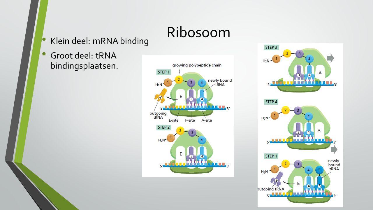 Ribosoom Klein deel: mRNA binding Groot deel: tRNA bindingsplaatsen.