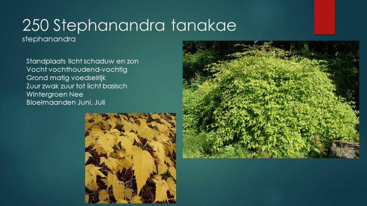 250 Stephanandra tanakae stephanandra Standplaats licht schaduw en zon Vocht vochthoudend-vochtig Grond matig voedselrijk Zuur zwak zuur tot licht bas