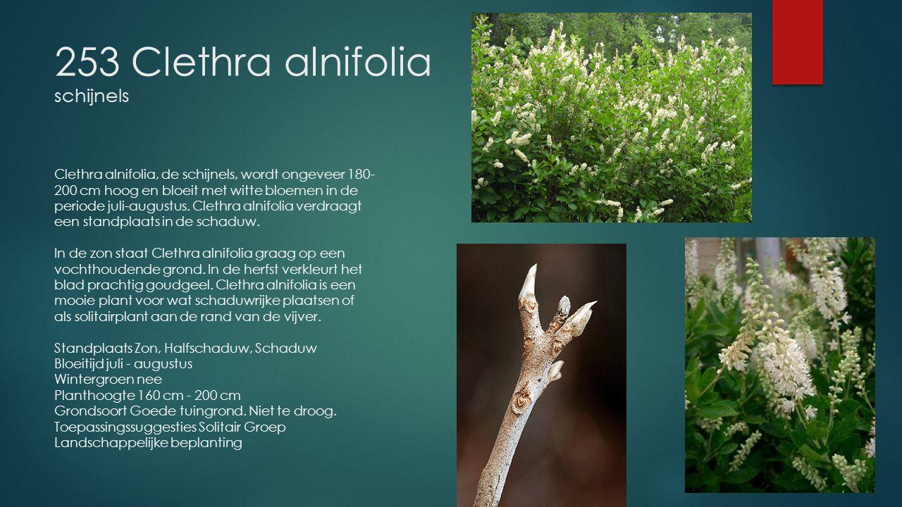 253 Clethra alnifolia schijnels Clethra alnifolia, de schijnels, wordt ongeveer 180- 200 cm hoog en bloeit met witte bloemen in de periode juli-august