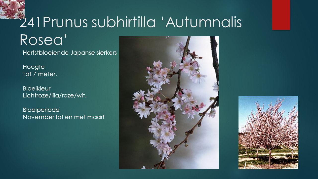 241 Prunus subhirtilla 'Autumnalis Rosea' (Prunus subhirtella 'Autumnalis Rosea') +Voeg toe aan Mijn tuin In bloei melden Herfstbloeiende Japanse sier