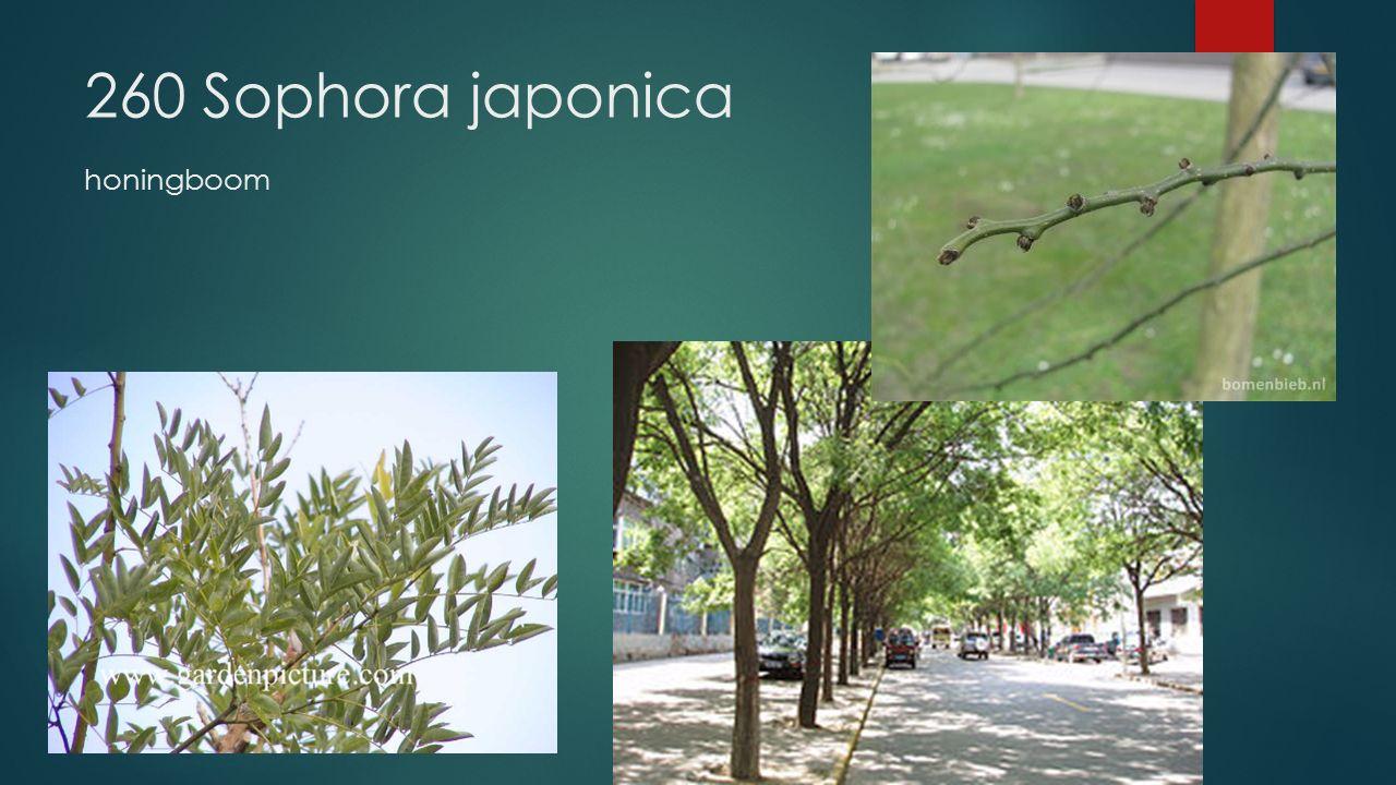 260 Sophora japonica honingboom