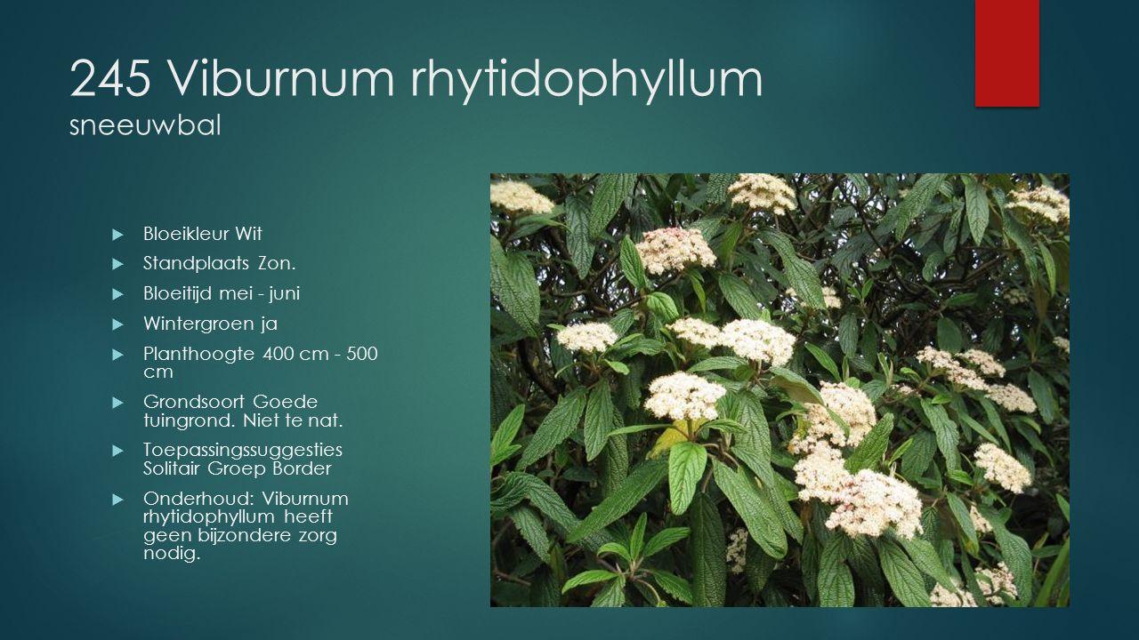 245 Viburnum rhytidophyllum sneeuwbal  Bloeikleur Wit  Standplaats Zon.  Bloeitijd mei - juni  Wintergroen ja  Planthoogte 400 cm - 500 cm  Gron