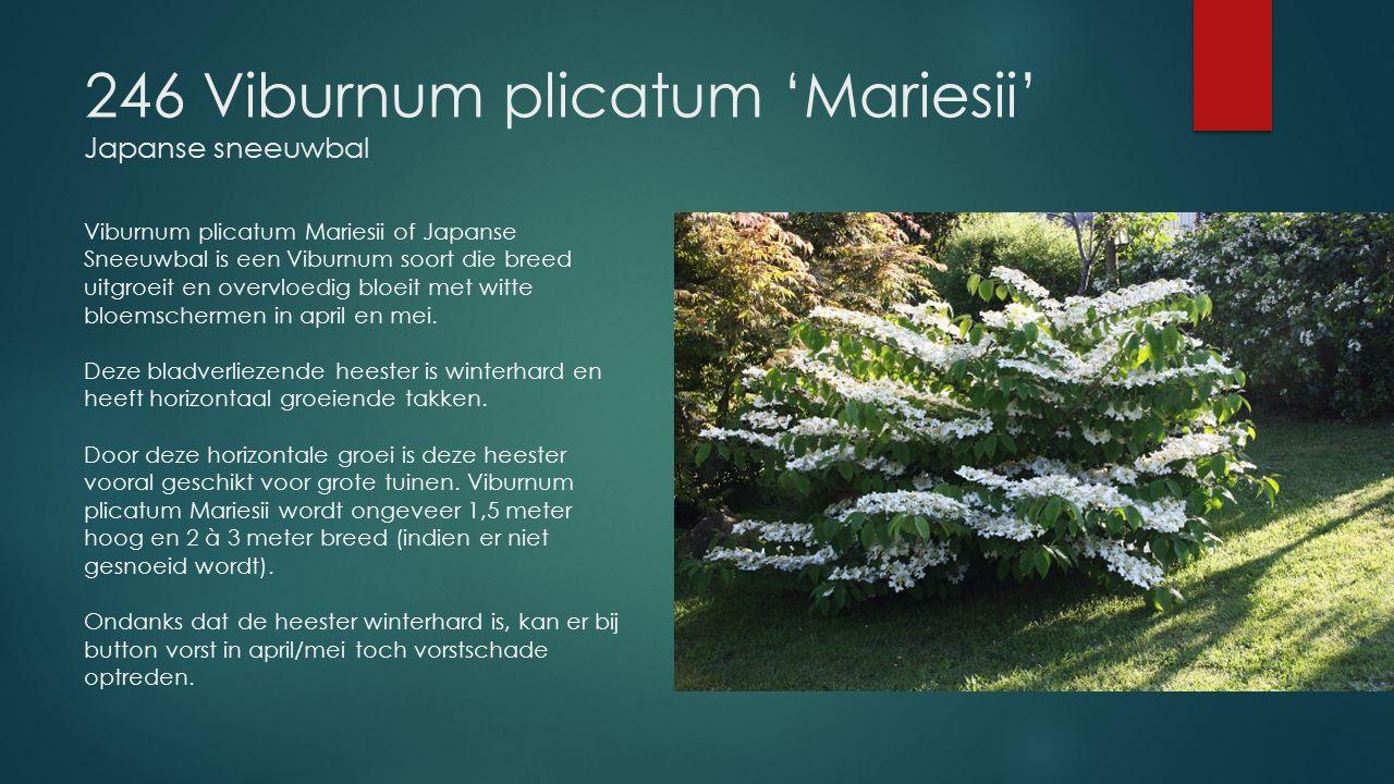 246 Viburnum plicatum 'Mariesii' Japanse sneeuwbal Viburnum plicatum Mariesii of Japanse Sneeuwbal is een Viburnum soort die breed uitgroeit en overvl
