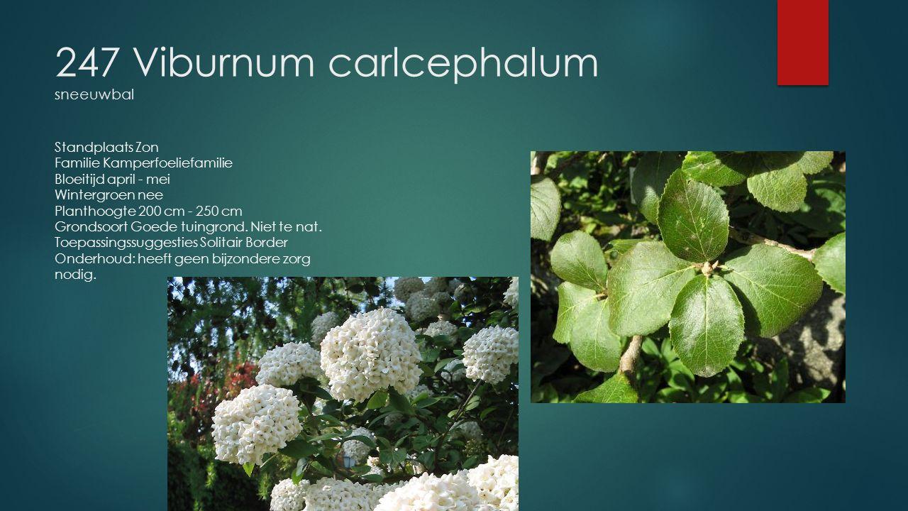 247 Viburnum carlcephalum sneeuwbal Standplaats Zon Familie Kamperfoeliefamilie Bloeitijd april - mei Wintergroen nee Planthoogte 200 cm - 250 cm Gron