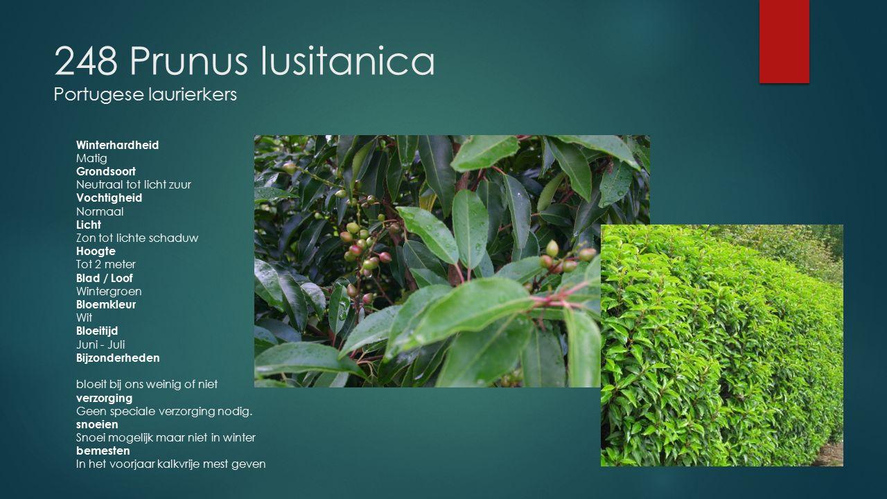 248 Prunus lusitanica Portugese laurierkers Winterhardheid Matig Grondsoort Neutraal tot licht zuur Vochtigheid Normaal Licht Zon tot lichte schaduw H