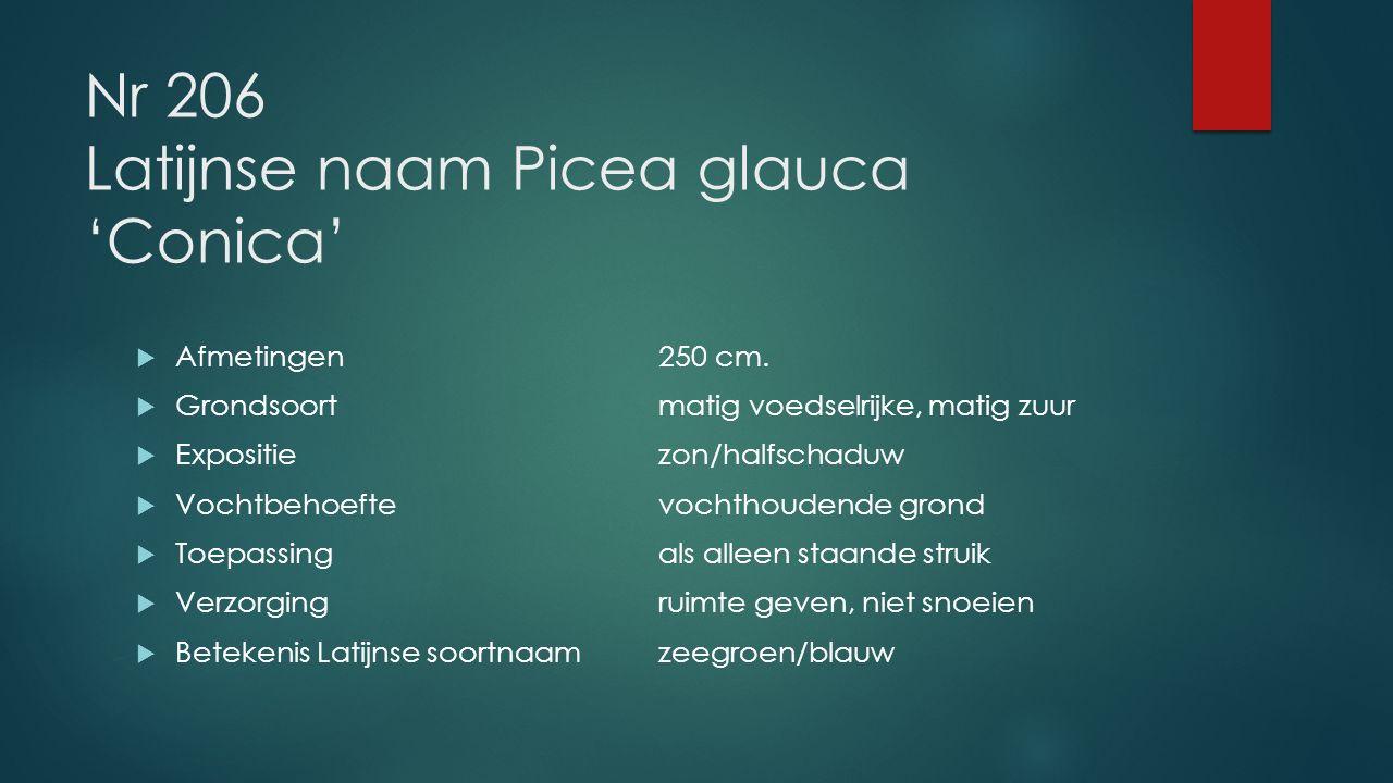 Nr 206 Latijnse naam Picea glauca 'Conica'  Afmetingen250 cm.  Grondsoortmatig voedselrijke, matig zuur  Expositiezon/halfschaduw  Vochtbehoeftevo