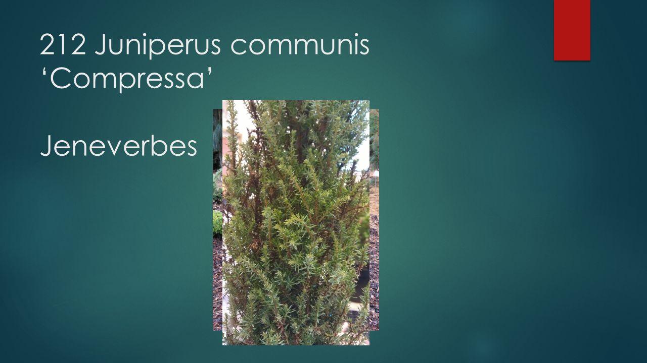 212 Juniperus communis 'Compressa' Jeneverbes