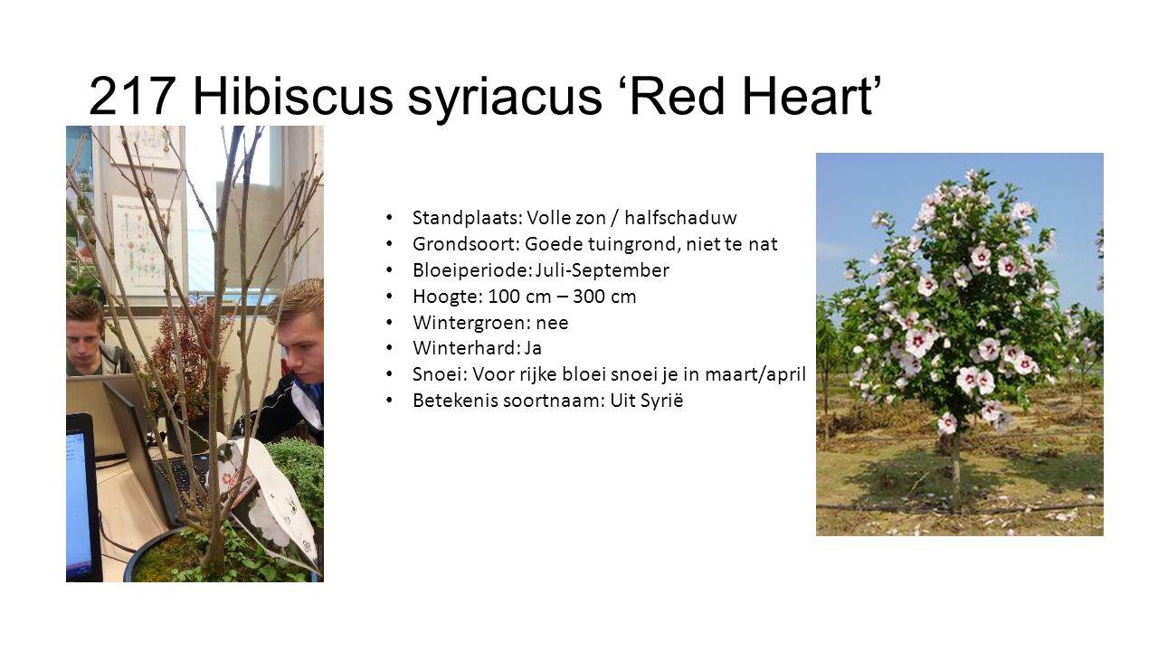 217 Hibiscus syriacus 'Red Heart' Standplaats: Volle zon / halfschaduw Grondsoort: Goede tuingrond, niet te nat Bloeiperiode: Juli-September Hoogte: 1
