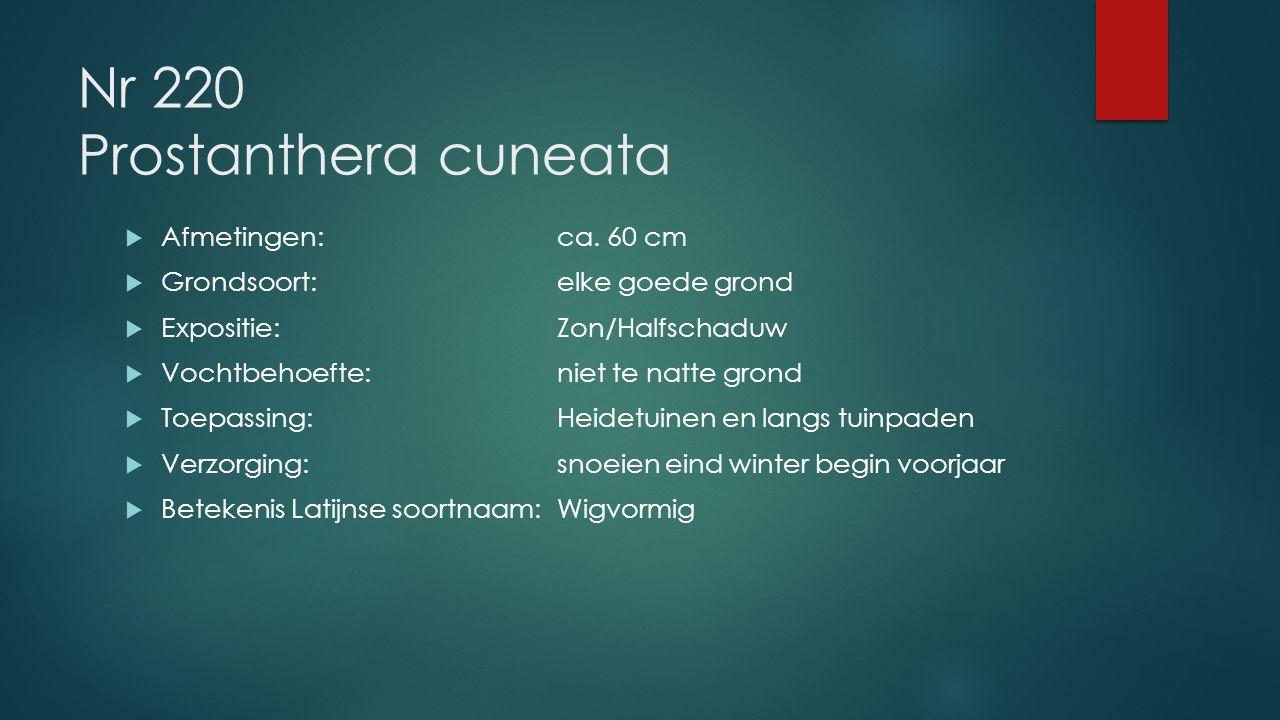 Nr 220 Prostanthera cuneata  Afmetingen:ca. 60 cm  Grondsoort:elke goede grond  Expositie:Zon/Halfschaduw  Vochtbehoefte:niet te natte grond  Toe