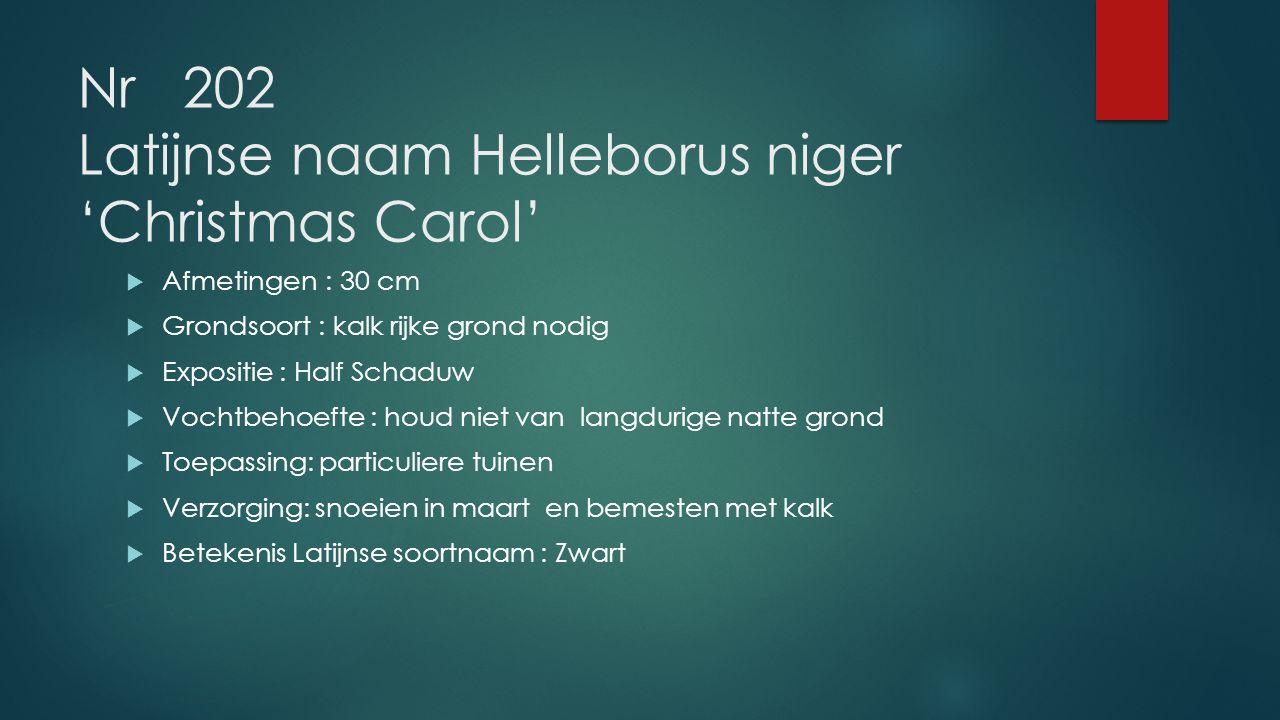 Nr 202 Latijnse naam Helleborus niger 'Christmas Carol'  Afmetingen : 30 cm  Grondsoort: kalk rijke grond nodig  Expositie : Half Schaduw  Vochtbe