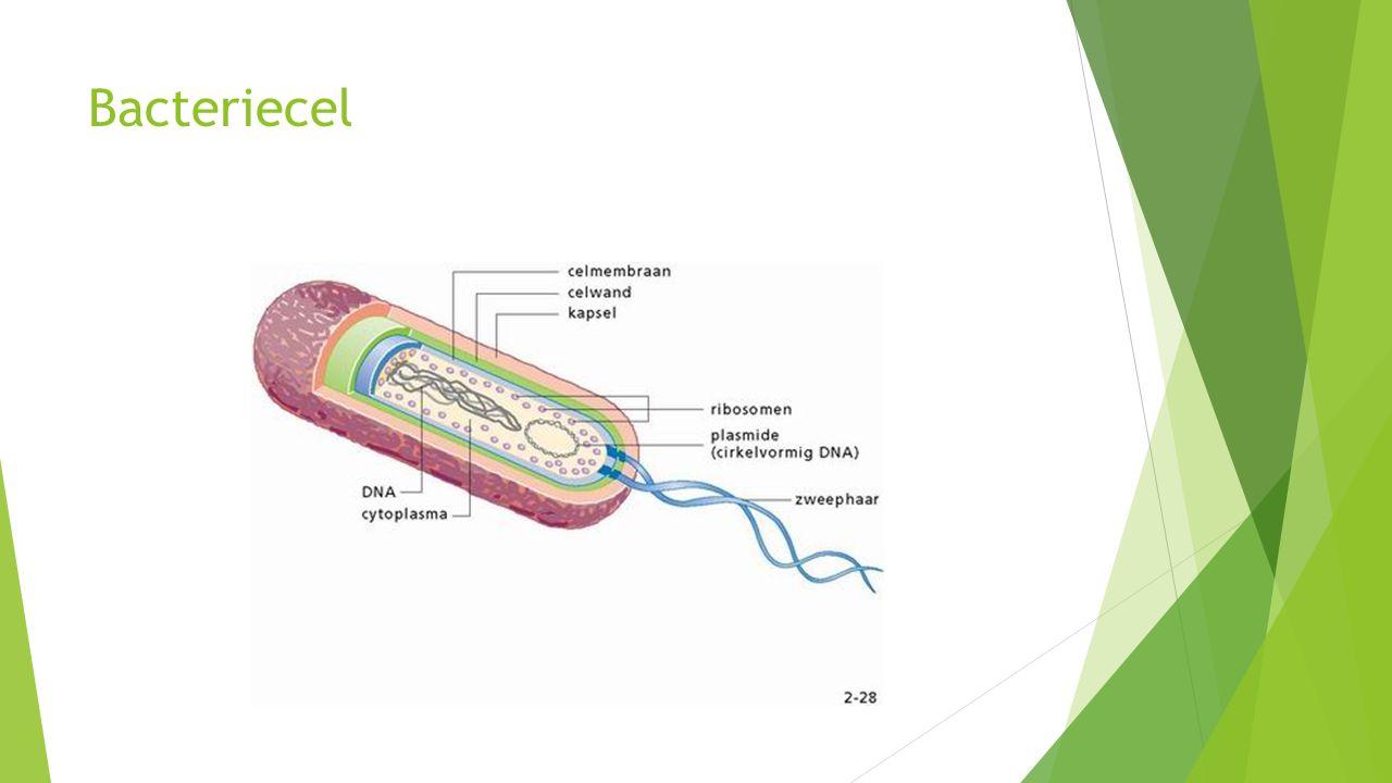 Bacteriecel