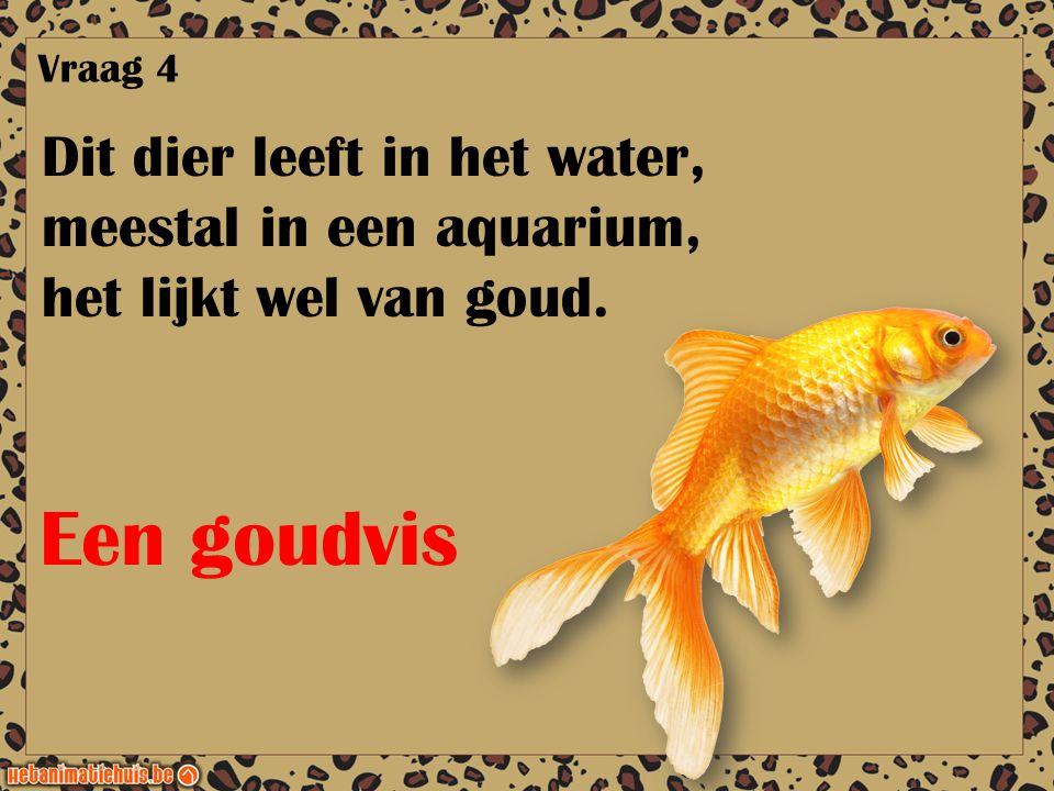 Dit dier leeft in het water, meestal in een aquarium, het lijkt wel van goud. Vraag 4 Een goudvis