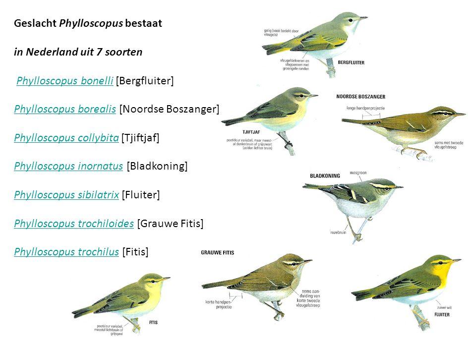 Geslacht Phylloscopus bestaat in Nederland uit 7 soorten Phylloscopus bonelli [Bergfluiter] Phylloscopus borealis [Noordse Boszanger]Phylloscopus bone
