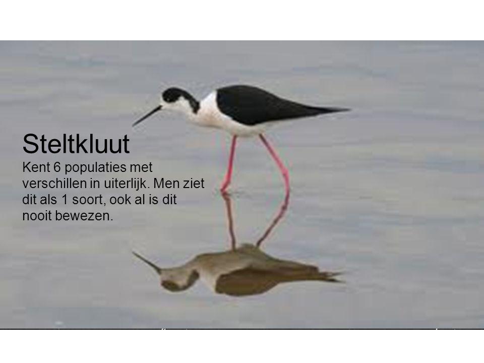 Steltkluut Kent 6 populaties met verschillen in uiterlijk. Men ziet dit als 1 soort, ook al is dit nooit bewezen.